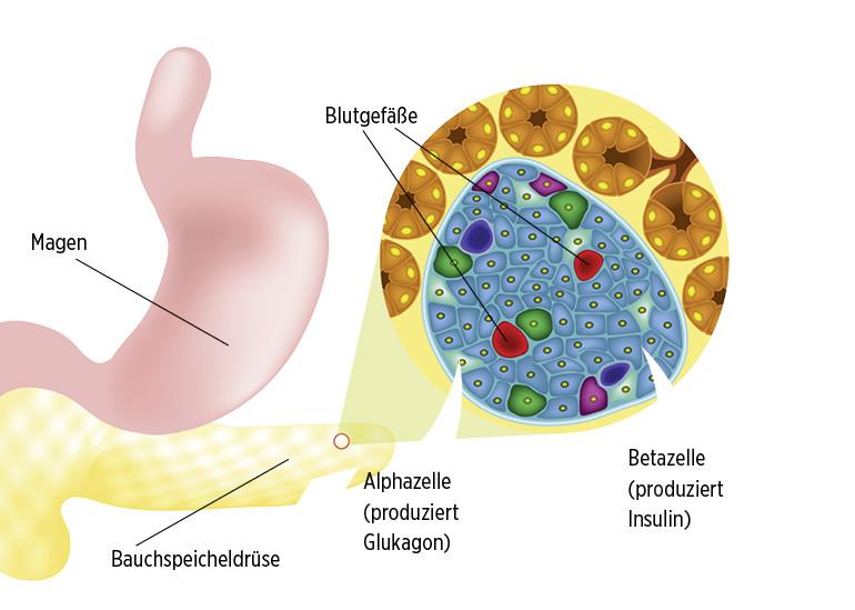 Schwerpunkt: Hormone im (Un-)Gleichgewicht - Insulin – und